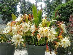 """Epiphyllum """"Epis"""" (Cactus Orchid)"""