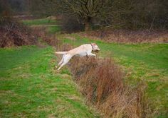 yellow labrador retriever dog playingjumping in a parkforest