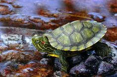 Caring For Your Red-Eared Slider Turtle | Animal Hub