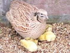 Caille du japon et ses bébés Shigeru, Poultry, Images, Quails, Animals, Raising, Gardening, Youtube, Backyard Chickens