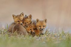 Fox cubs after sunset photographed by Lise De Serres
