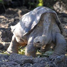 22/11/Une espèce de tortue géante réputée éteinte refait surface en Equateur