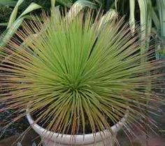 Agave_geminiflora.  2-3 FT HIGH + WIDE. COLD HARDY, NATIVE TO MEXICO.  THRIVES IN PART SHADE.