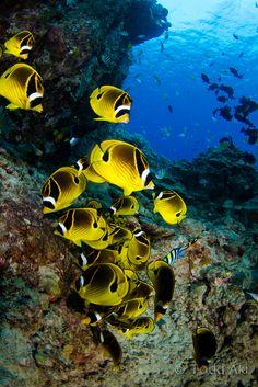 Chaetodon fasciatus / Red sea racoon butterflyfish / Poisson-papillon raton-laveur/ Poisson-papillon tabac/ Famille des Chaetodontidae / Taille maximale 20 cm (c) Todd Aki