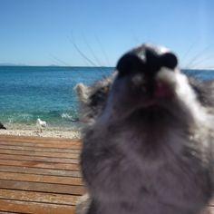 #photobomb #australia #hamiltonisland #seeaustralia #ocean #sea #sealife #beach #nature #greatbarrierreef #paradise #island #gopro #underwater #undwaterphotography #photography #selfie #scubadiving #diving #freediving #snorkeling #travel #holiday #escape #adventure #getaway by oceandivingaustralia http://ift.tt/1UokkV2