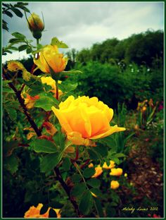 Melody Lowe's Garden - Persian Yellow roses