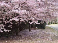 Yoshino Cherry Trees