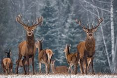 Winter Wildlife Landscape With Two Noble Deer (Cervus elaphus). Deer With Large Branched Horns On The Background Of Snow-Covered Birch Forest. Two Stag Close-Up, Artistic View. Two Trophy Deer image photo Wild Life, Birch Forest, Forever, New Pictures, Beautiful Creatures, Giraffe, Moose Art, Royalty Free Stock Photos, Snow