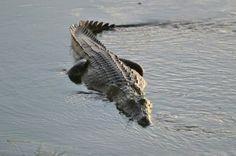 Il coccodrillo - i coccodrilli