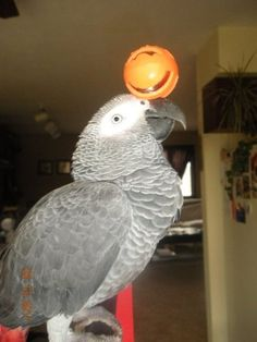 Parrot ~ also known as an African Gray...I've wanted one of these FOREVER.....