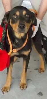 Bambo is an adult, male rott mix who will be available for adoption on 12\/21\/16! ID# 16-D3895