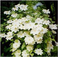Clematis Guernsey Cream...Creamy yellow in color, blooms are 5 inches, flowers mid spring and grows to 7 feet.