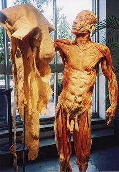 Body Worlds - Skin Man | Taken at the Body Worlds anatomy ex… | Flickr Human Muscle Anatomy, Human Anatomy, Anatomy Drawing, Anatomy Art, Human Body Exhibit, Gunther Von Hagens, Bodies Exhibit, The Modern Prometheus, Mind Blowing Images