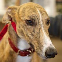 """Meet Kenley is a quiet, reserved kind of guy. He enjoys attention, but he's not one to ask for it. Just love his """"socks""""; too darn cute. Kenley will need a home without cats. He did well in small dog testing, but has not lived with small dogs. #greyhound #greyhoundsofinstagram #greyhoundsmakegreatpets #adoptaretiredracer"""