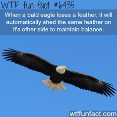 Bald eagle - WTF fun facts | Visit http://gwyl.io/  for more diy/kids/pets videos