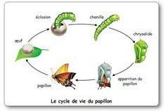 Elevage papillon