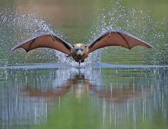 A Bit Of A Splash by © Michael Cleary A Grey Headed Flying Fox a split second after hitting the water takes off to lick the water off its fur. Sometimes when they hit the water too hard they can make quite a splash.