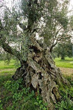 L'#Olivo della #Strega - #MaglianoinToscana - #Maremma - #Tuscany E' situato a pochi passi dal paese di Magliano in Toscana, nei pressi della Chiesa della Santissima Annunziata. E' un olivo monumentale che arricchisce il grande patrimonio forestale della Maremma. I tecnici agrari lo fanno risalire a 3.500 anni fa ed è classificato tra i più vecchi olivi del mondo, ancora più vecchio di quelli dell'orto del Getzemani. - Fonte: Parco degli Etruschi