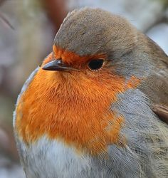 "Animal Symbolism: Meaning of the Robin Animal Symbolism of the Red Robin There's a reason we ""start singing that old sweet song when that red robin come. Birds In The Sky, All Birds, Cute Birds, Pretty Birds, Little Birds, Beautiful Birds, Animals Beautiful, Bird Pictures, Animal Pictures"