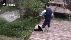 Panda is persistent! Panda is persistent! Panda is persistent! Panda is persistent! Funny Animal Videos, Cute Funny Animals, Funny Animal Pictures, Animal Memes, Cute Baby Animals, Funny Cute, Animals And Pets, Hilarious, Baby Pandas