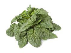 Warenkunde Guter Heinrich: Was man über das Gemüse Guter Heinrich wissen muss und warum es so gesund ist. Hier klicken!