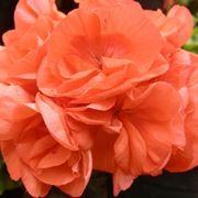 pelargonium orange - gerani