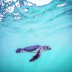 First day in the water and already looking like a pro! #turtletuesday