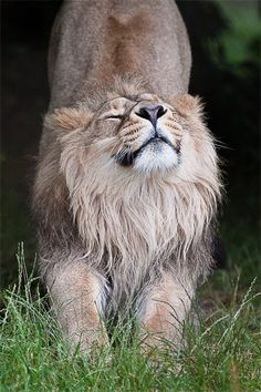 Lion_-_Having_a_Stretch by CelticOrigins Photography