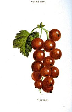 Biggles Berry Book, 1899, illustration of berries, color; strawberries, raspberries and others. Children's book illustration and educational plates. Scan of 2 d images in the public domain believed to be free to use without restriction in the US.