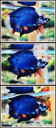 fwbettasdt1439252974 - DT fancy Betta Breeding, Tiny Fish, Pretty Fish, Beta Fish, Siamese Fighting Fish, Fancy, Aquarium Fish, Blue Bird, Exotic
