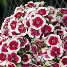 Dianthus Seeds Seabay White & Red Bicolor 1,000 Bulk Seeds