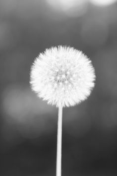 Dandelion Wish Perfection
