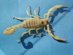 Hairy Scorpion- USA