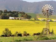 Canola fields Cape West Coast Tourism