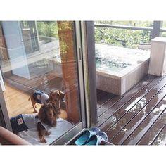Rooms with open air bathes♨❤Comfortable to put in 24 -hour hot springLooking at the dog enters the hot spring✨部屋付きの露天風呂✨24時間温泉に入れて快適でした✨温泉に入ると愛犬が見てるけど#ダックスフンド #ミニチュアダックスフンド #愛犬 #ショコラ #チョコタンダックス #バニラ #スムースダックス #レジーナリゾート伊豆無鄰 #dachshund #dachshunds #dogsofinstagram #dogs #dog #dogs_of_instagram #ig_dogphoto #dogsofinstagram #instadog #doxie #doxielove #cute #cutepetclub #lovely #lovelydog #doglover #chocola #vanilla #smoothcoat #izu #reginaresort #openairbath #hotspring