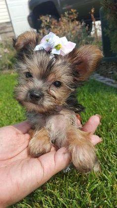 Maltese Yorkshire Terrier Mix Animals Pinterest Yorkshire