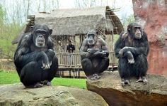 Chimpanzés preferem cooperar a competir, revela estudo  http://controversia.com.br/2033