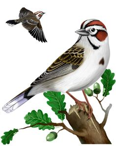 Lark Sparrow.