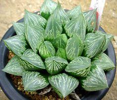 Haworthia cv 'Green Woodii'