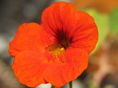 Although this vinegar uses flowers, the result is not sweet. Rather, the inclusion of nasturtium flowers (and sometimes leaves) results in an excellent savoury, peppery vinegar that gives a peppery kick when added to salad dressings or...