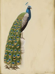 bioilustra:  Indian Peafowl by Abiogenisis