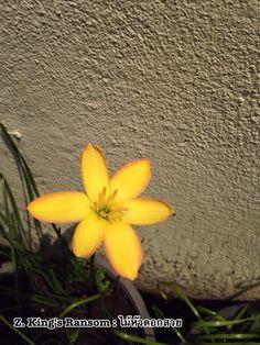 Z. King's Ransom #บัวดิน #บัวดินที่ไม้หัวดอกสวย #ไม้หัวดอกสวย #Flower #flowerpower #flowerphotography #Rainlily #lily #floraphotography #aftertherain #naturephotography #nature