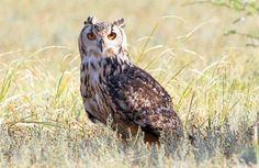 Rock Eagle-Owl (Bubo bengalensis) Large owl, yellow eye, greyish body with black verticle strakings