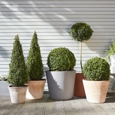 Peter has become a favourite ornamental tree, loved for his distinctive look and strong scent. He is happy sitting in a terracotta or concrete outdoor pots! Evergreen shrub/small tree / outdoor!