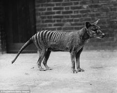 However, sadly the intervention by Australian authorities was too little too late for the animal, when the last of its kind, affectionately named Benjamin (pictured), died while in its enclosure at a Hobart Zoo
