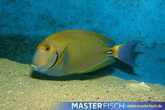 Dussumieres Doktorfisch - MasterFisch Fish, Pets, Animals, Fish Fin, Types Of Animals, Animales, Animaux, Pisces, Animal