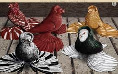 English Trumpeter Show Pigeons -     Art of Pigeons by Gary Romig at http://ww.artofpigeons.com/