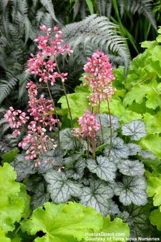 Mini Heuchera 'Peppermint'