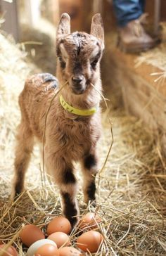 nothing cuter than baby goats