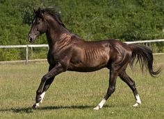 """Akhal-Teke stallion Murgab by Kerri-Jo, via Flickr (""""Beauty is in the Eye of the Beholder!""""  I do not find these horses attractive; only the metallic sheen of some of their colors.)"""